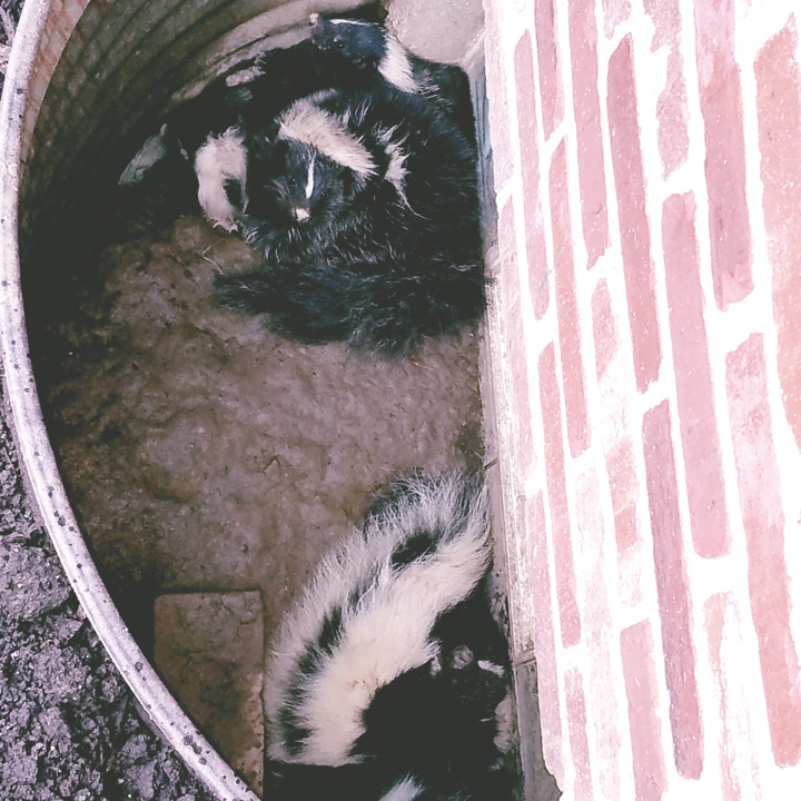 Repair damage from skunks in The Woodlands